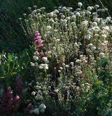 California buckwheat mixed with Rose Sage. This drought resistant garden has has looked good for decades, with wildlife visiting it every year. Native plants are very tolerant of California's climate and it's yearly drought. - grid24_6