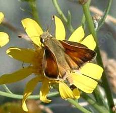 Tilden's skipper on a Butterweed plant. AKA Common Branded Skipper, Hesperia comma - grid24_6