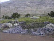 Sorry, an old picture of Maritime mountain lilac in full flower. This was in a landscape south of Cambria with no water, full bluff exposure. The plants were blasted by wind and salt spray. (The first week the irrigation flags we were using to mark the plants blew off, just the wire stake left.) Behind are the plants  Salvia spathacea and  Baccharis Pigeon Point. The Ceanothus maritimus is covering the ground only a few inches tall. - grid24_6