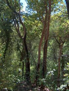 Arbutus menziesii, Madrone, growing in the mixed evergreen forest of the central coast ranges of California, with Quercus kelloggii.  - grid24_6
