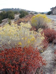 Eriogonum fasciculatum var. polifolium, Interior Buckwheat growing along Hwy 58 at edge of Carrizo plains. - grid24_6