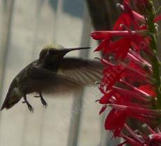 Landing gear down, and coming in for a sip of nectar from the flowers of Lobelia cardinalis, Cardinal Flower, is a unidentified hummingbird.  - grid24_6