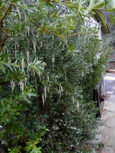 Garrya veatchii Silk Tassel Bush along a walkway - grid24_6