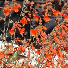 Zauschneria californica Catalina, AKA Epilobium canum, Catalina with an Anna Hummingbird  - grid24_6