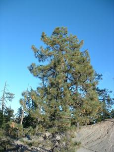 Pinus coulteri on pure serpentine