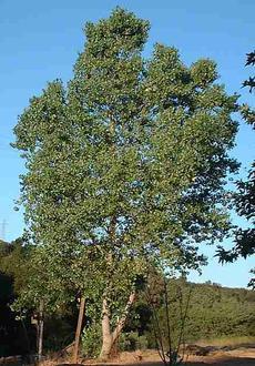A Young Fremont Cottonwood Populus Fremontii Tree Grid24 6