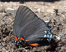Great Purple Hairstreak, side view - grid24_6