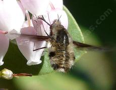 Beefly on manzanita flower - grid24_6