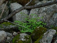 California maidenhair fern in among rocks at the Santa Margarita Nursery - grid24_6