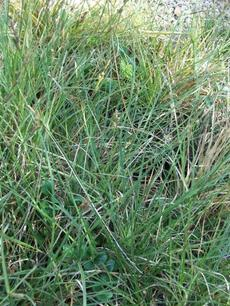 Carex sartwelliana Yosemite Sedge