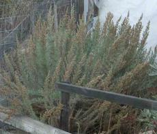 California Sage brush, Artemesia californica - grid24_6