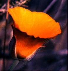 A very old photo of Calochortus species, Mariposa Lilly, probably before 1980.