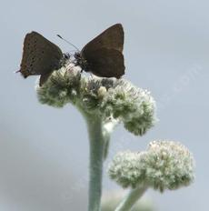 Eriodictyon tomentosum Woolly Yerba Santa. with Hairstreak Butterflies - grid24_6