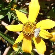 Bidens laevis  with a Acmon Blue Butterfly. - grid24_6