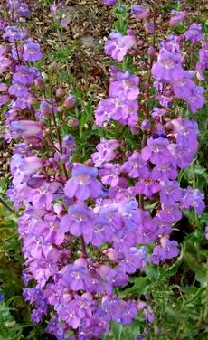Penstemon spectabilis, Showy Penstemon can be a very hot lavender addition to a California garden. - grid24_6
