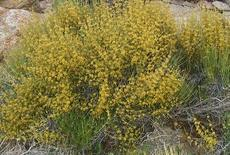 Ephedra viridis, Green Ephedra, grows in many dry areas of California, and is showy at certain times of the year, with its yellow pollen cones.