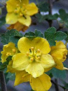 Fremontodendron californicum California Flannel Bush. Also known as Fremontia. - grid24_6
