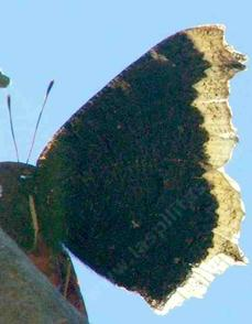 Side view of Mourning Cloak Butterfly. We do not get many of them in the Santa Margarita Nursery, but we get a few. - grid24_6