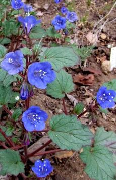 Phacelia campanularia, Desert Bluebell, is growing here in the Santa Margarita garden. - grid24_6