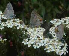 Native yarrow with Hairstreak butterflies. - grid24_6