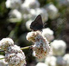 California Buckwheat,the foliolosum  subspecies of  Eriogonum fasciculatum with a Hairstreak butterfly. - grid24_6