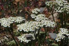 Achillea millefolium californica Yarrow with Hair Streak