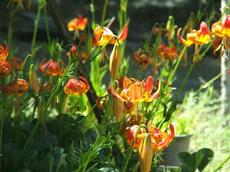 "Here a clump of Lilium pardalinum var.  giganteum ""Sunset"" are flowering in the Santa Margarita nursery."