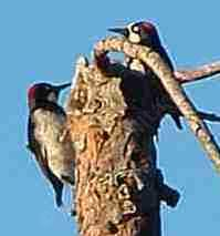 Two Acorn woodpecker Melanerpes formicivorus - grid24_6