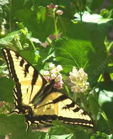 Ribes nevadense, Pink Sierra Currant with Swallowtail - grid24_6