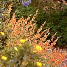 Sphaeralcea ambigua, Desert Mallow mixed with Ceanothus and Dendromecon. Desert Mallow can live on 3-4 inches of rainfall and is drought tolerant as Barstow. - grid24_6