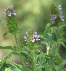 Prunella vulgaris lanceolata Self Heal