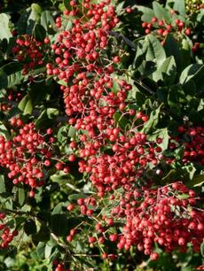 We seldom see Toyon berries this ripe here, the birds eat them when they are still green. - grid24_6