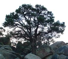 Pinus monophylla, Pinyon Pine, is growing here among boulders in Joshua Tree National Monument, Mojave Desert, California.