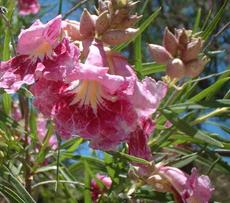 The lovely orchid-like, pink flowers and beige flower buds of Chilopsis linearis, Desert Willow, at Santa Margarita, California.  - grid24_6