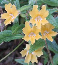 Conejo monkey flower has large flowers on a knee high plant. This plant is 25 years old. - grid24_6