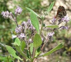 Eriodictyon crassifolium (Thick Leaved Yerba Santa with Checkerspot - grid24_6