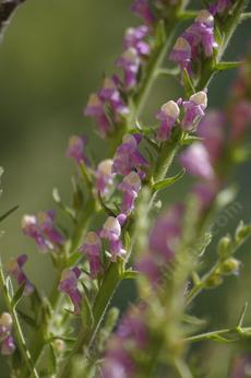 Antirrhinum multiflorum, Mutliflowered Snapdragon Flowers used to be common in the hills around Santa Barbara and Los Angeles. - grid24_6