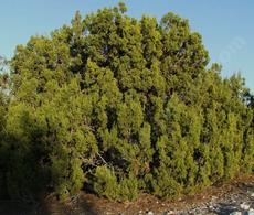 Juniperus californica, California Juniper, has lovely blue fruits,  fragrant green foliage, and grows in  pinyon-juniper woodland, for one.