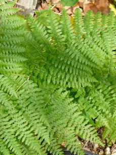 Pteridium aquilinum pubescens, Brake
