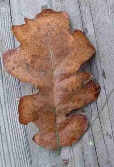 Oregon Oak, <i>Quercus garryana</i> fall(en) leaf - grid24_6