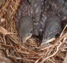 Baby Western Bluebirds in their nest. - grid24_6