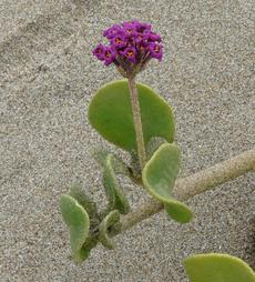 The very pretty pink-purple flower clusters of Abronia maritima, Sand verbena, against a background of salty beach sand - grid24_6
