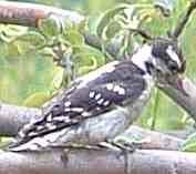 Downy Woodpecker old photo - grid24_6