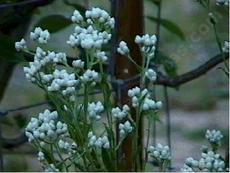Gnaphalium californicum California Pearly Everlasting - grid24_6