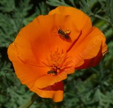 California Poppies are great for wildlife.  - grid24_6