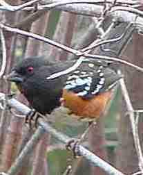 Spotted Towhee (Rufous-sided towhee), Pipilo maculatus early morning before sun is strong they'll be out - grid24_6
