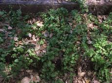 Yerba Buena, Satureja douglasii is a green groundcover. that will grow in light shade - grid24_6