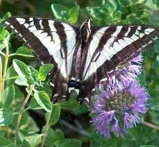 Pale swallowtail, Papilio eurymedon from top - grid24_6