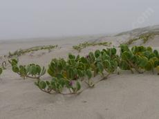 Abronia maritima, Sand verbena, growing in beach sand, on a foggy summer day in Morro Bay, California.