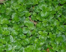 Yerba Buena, Satureja douglasii is a beautiful flat green ground cover that smells good and some use as tea. - grid24_6